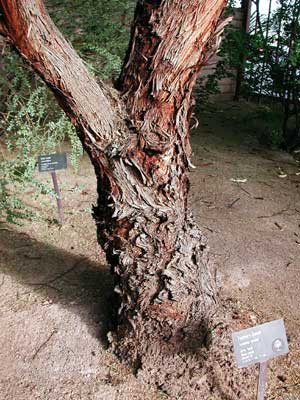 Forman's Eucalyptus trunk