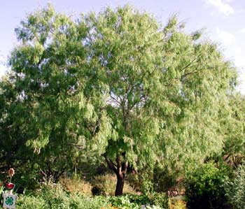 Texas Honey Mesquite