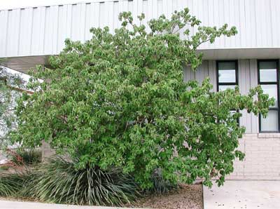 Norms favorite desert trees nevada public radio flower fruit and leaves can make a bit of a mess over hardscapes the tree reaches about 12 tall and wide and is quite cold hardy down to about 15 mightylinksfo
