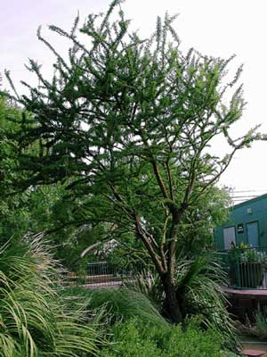Norm 39 s favorite desert trees nevada public radio for Small sized evergreen trees