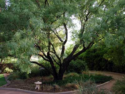 Western Honey Mesquite