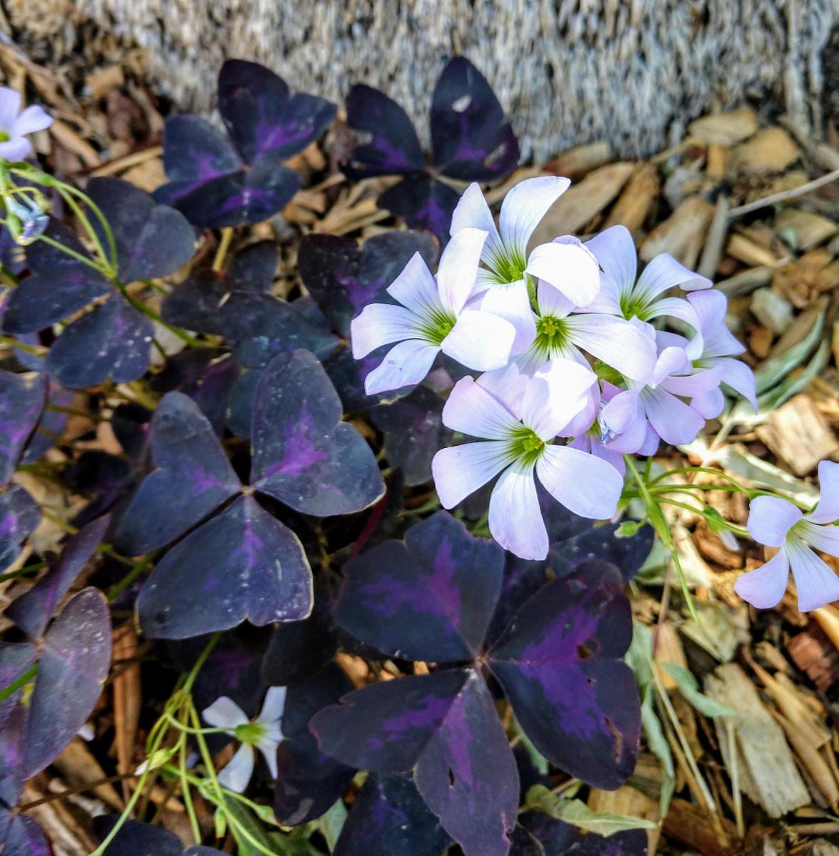 Oxalis triangularis, Purple Shamrock.