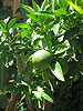 Blood Orange Tree with fruit set to ripen in December
