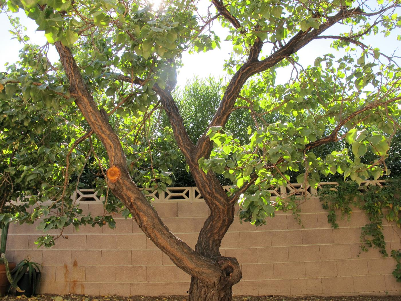 An older apricot tree, one type of fruit tree that will not thrive as temperatures trend upward