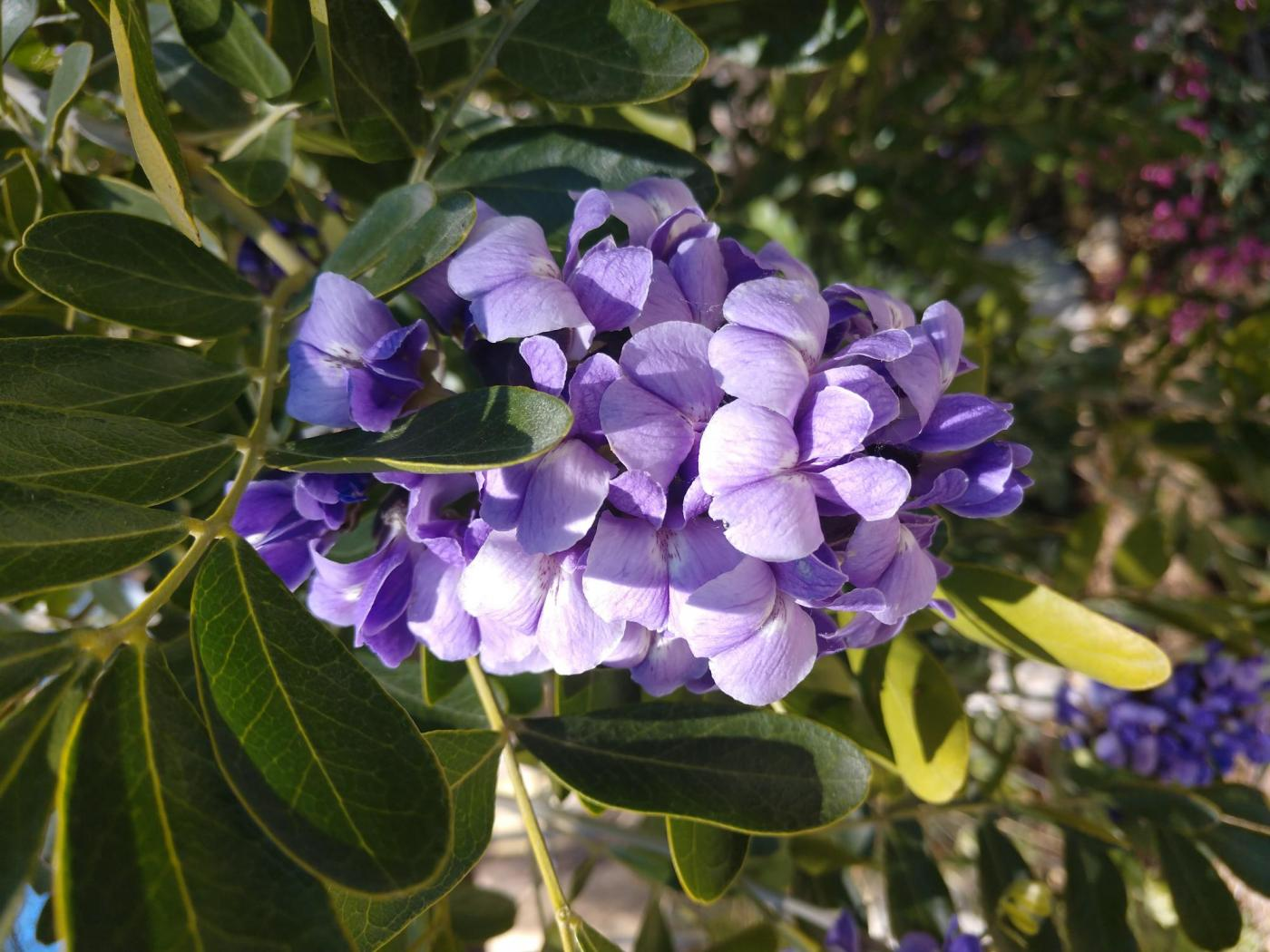 Texas Mountain Laurel in bloom.