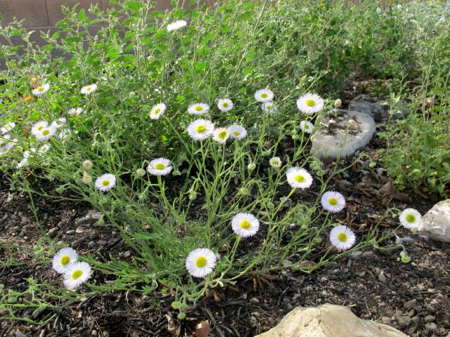 native fleabane