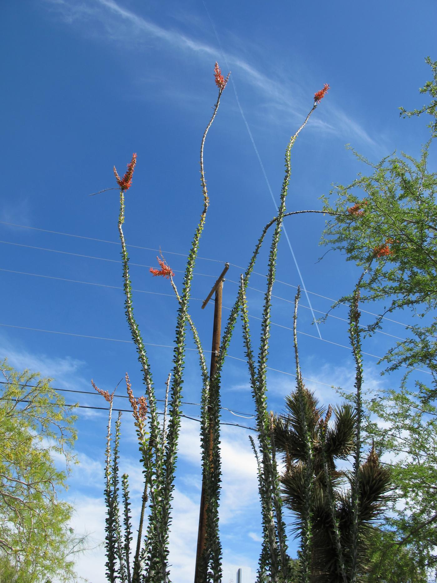 Fouquieria splendens (commonly known as ocotillo)