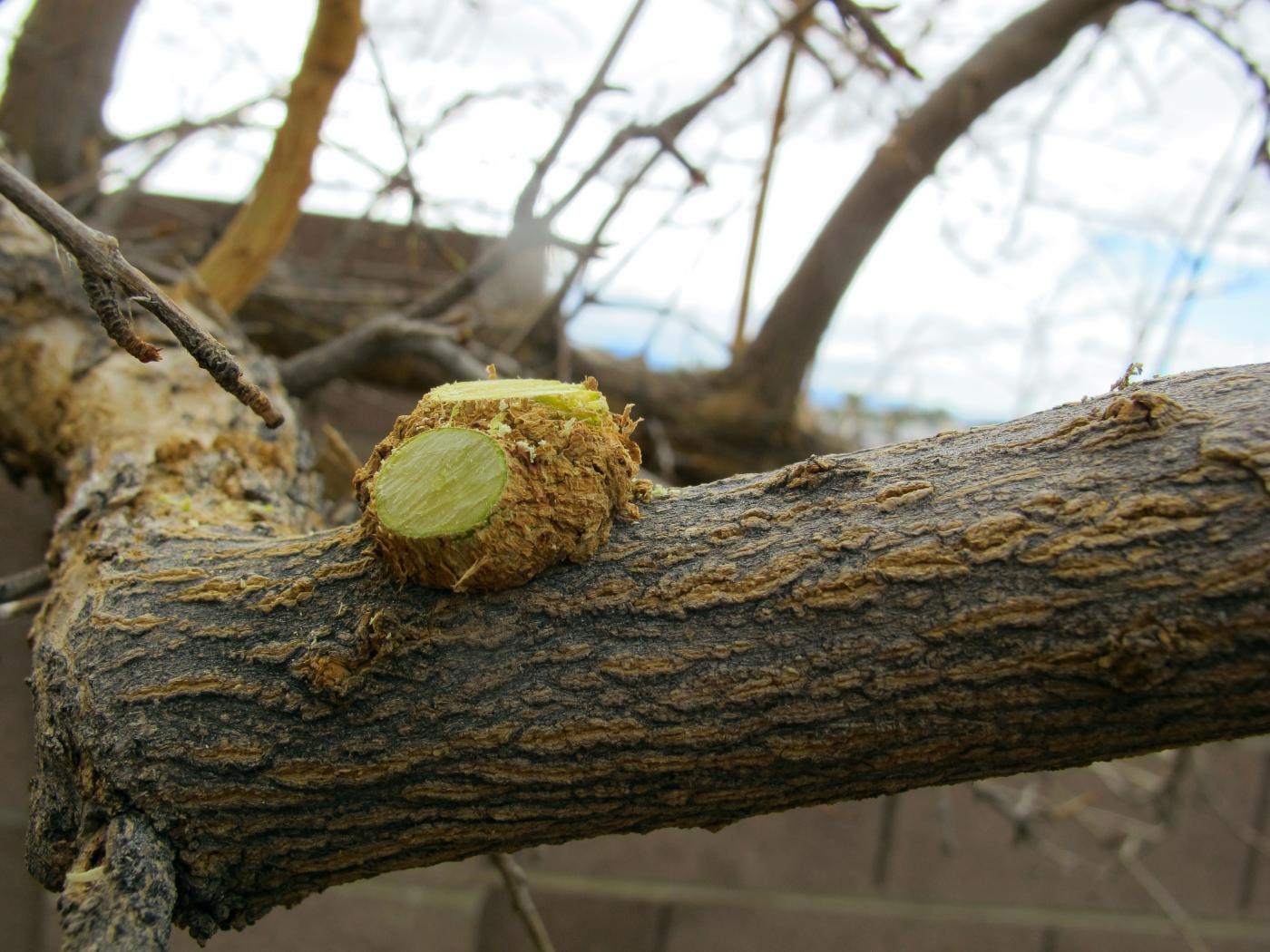 Norm Schilling tackles some easy pruning