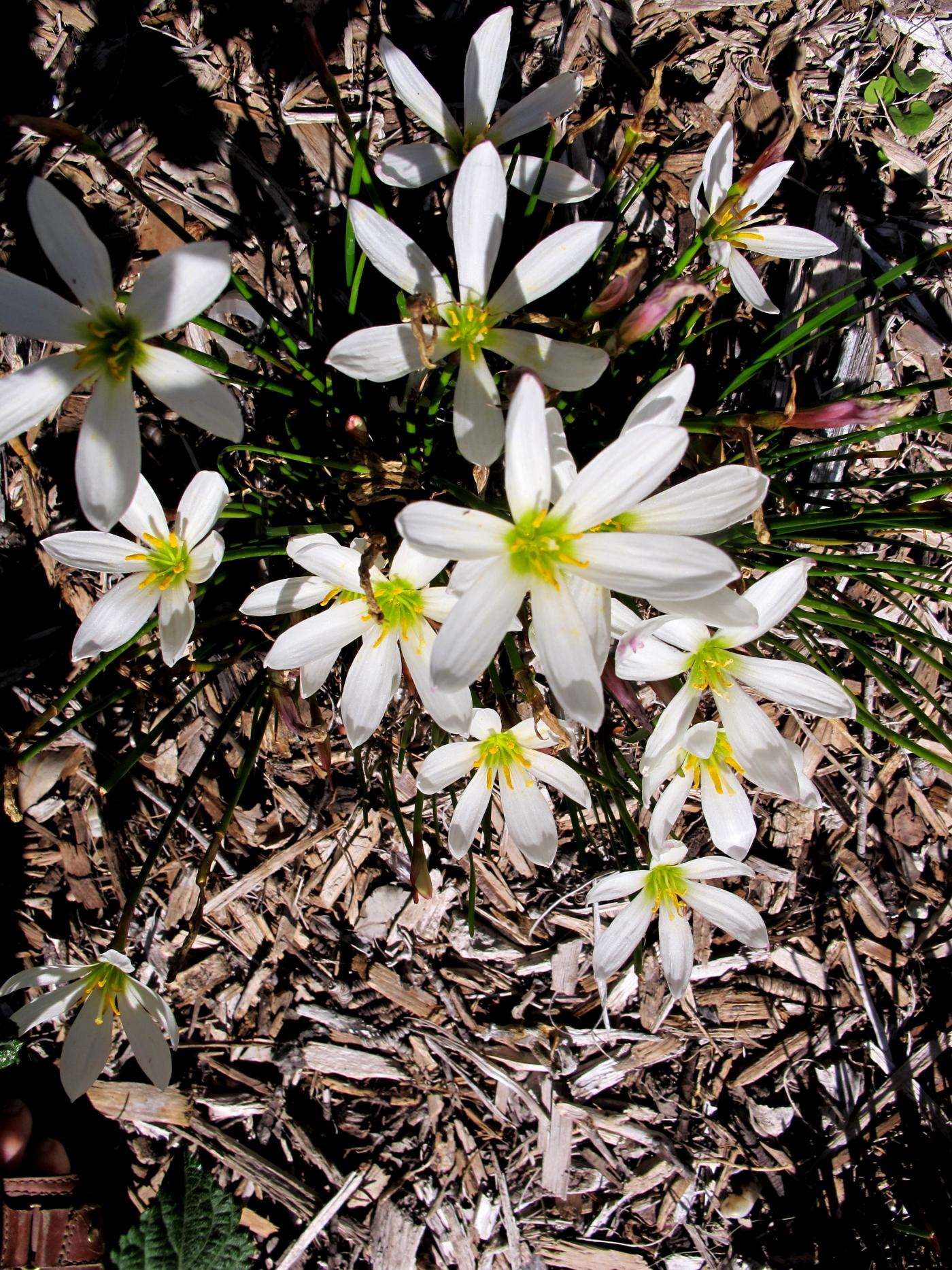 Rain Lily White (Zephyranthes Candida)