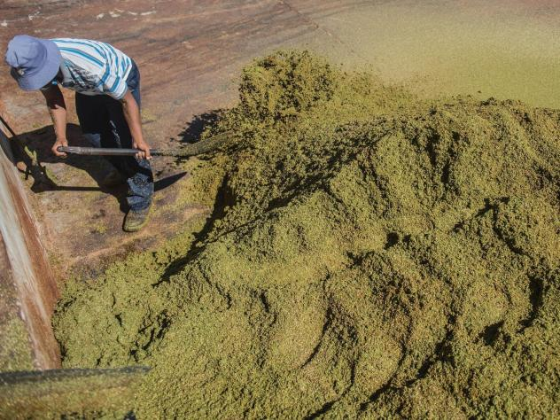 A farm worker grades and treats rooibos tea leaves before packaging in the Clanwilliam district of South Africa in 2017.