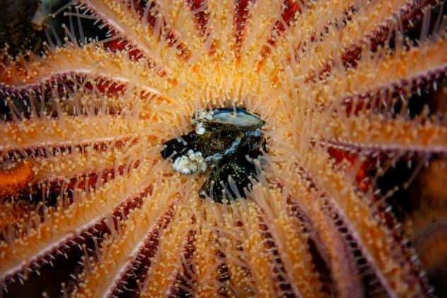 Sunflower sea stars — voracious predators that feed on mussels and sea urchins — are succumbing to a strange wasting disease that has devastated populations of sea stars along the West Coast.