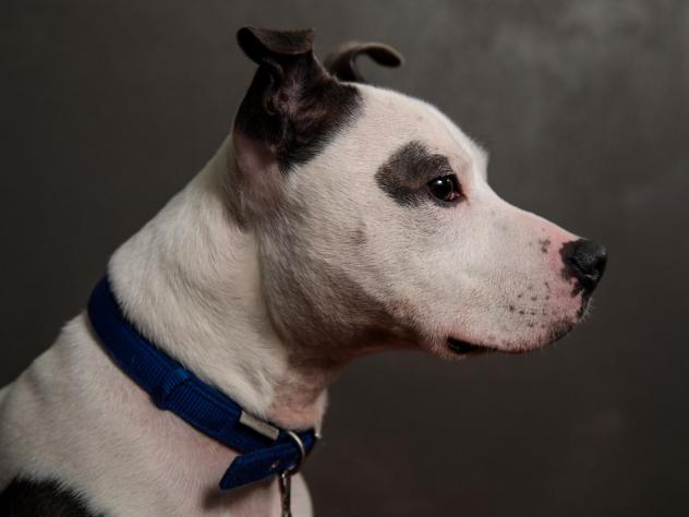 The FDA sent a warning letter to Midwestern Pet Foods after an inspection found high levels of aflatoxin in their food and poor food safety programs. Here, a Staffordshire Bull Terrier is pictured.