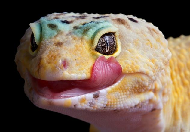 Reptiles like leopard geckos can bring <em>Salmonella</em> along with them.