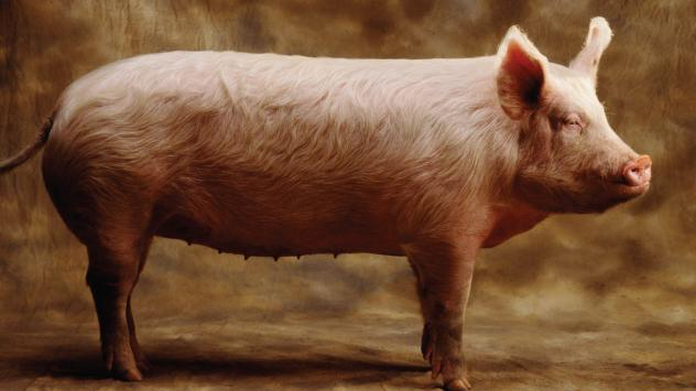 <strong>Pork chop epiphany:</strong> Author Barry Estabrook says he was inspired to write <em>Pig Tales: An Omnivore's Quest for Sustainable Meat<strong> </strong></em>after eating a heritage pork chop from a pig that had been raised on pasture.