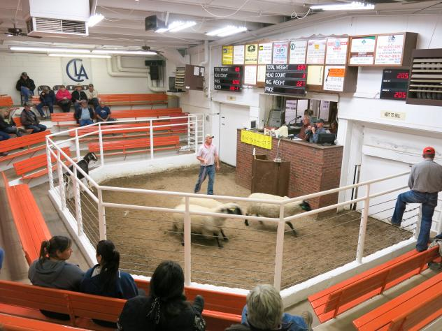 Each week the Centennial Livestock Auction in Fort Collins, Colo., sells sheep and goats to the highest bidder. Many of the animals end up in the meat departments of the Front Range's international and ethnic grocery stores.