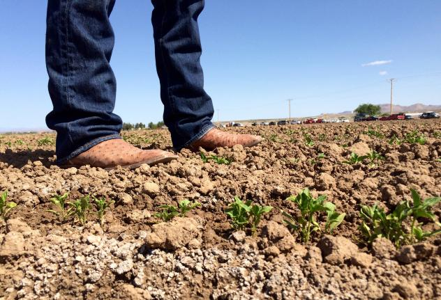 In the absence of water from the neighboring Rio Grande, farmers have taken to pumping from underground aquifers. The salt content in groundwater builds up on the soil and harms certain kinds of crops, like chile.