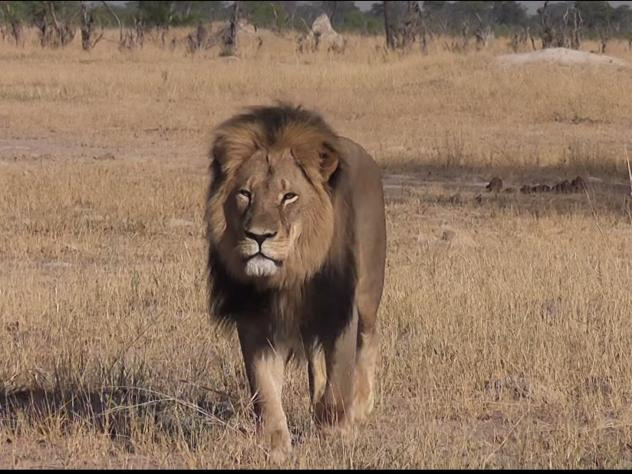 "Cecil the lion is shown walking in Zimbabwe's Hwange National Park in a YouTube video from July 9, 2015. <em>Credit: Bryan Orford</em><a href=""https://www.youtube.com/channel/UC-baJONYPjQ6olpRwkbxKcQ"" data-ytid=""UC-baJONYPjQ6olpRwkbxKcQ"" data-sessionlink"