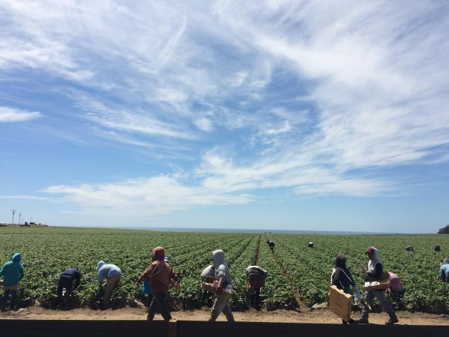 A field worker fills a box of strawberries in Watsonville, Calif. Berry pickers say they're earning less money this year. Because of the drought, there's less fruit to pick, and the fruit that is there is smaller, which means it takes longer to fill a bo