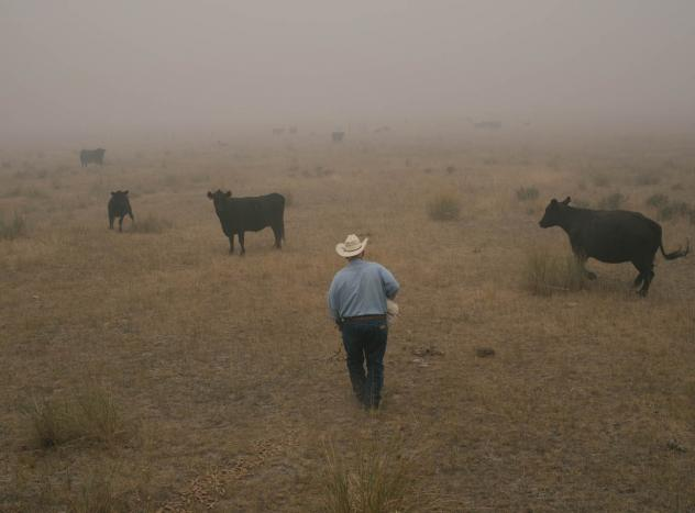 Some of Vejraska's black Angus cows emerge from the smoke. Spotting the animals is hard in this scorched landscape. Vejraska says he would drive the cattle to safety, but the fire is so widespread that he has few places to put them. And it's too dangerou
