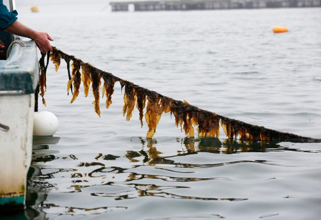 While some Maine companies harvest wild seaweed, others are now farming it. This rockweed is used in nutritional supplements, cosmetics, fertilizers and animal feed.
