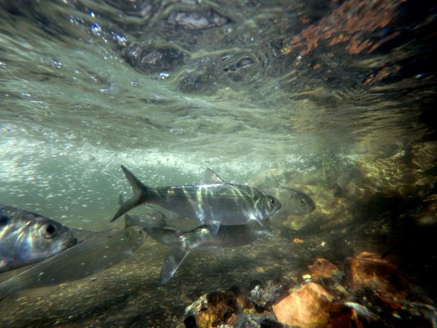 Herring swim up the Wynants Kill two weeks after an old industrial dam was removed to allow ocean-going fish access to the Hudson River tributary for spawning and habitat in Troy, N.Y.