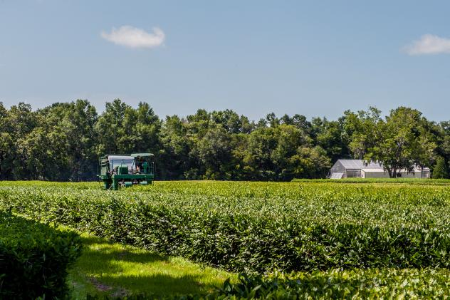The only commercial tea plantation in the U.S. is located on Wadmalaw Island, S.C. It makes tea from bushes descended from plants first brought here in the 1700s.