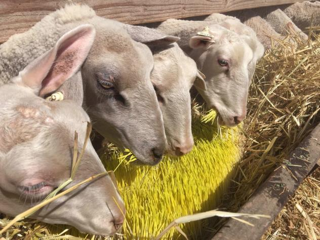 Jose Quiñonez says 2,400 pounds of sprouts are fed daily to about 1,100 sheep.