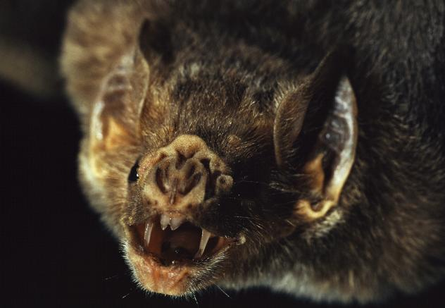 Vampire bats are the only bats that can run on all fours. And they do it by running on their thumbs!