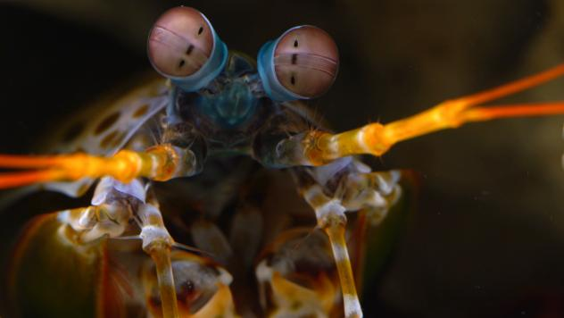 A male mantis shrimp reflects a particular type of polarized light from the surface of parts of its body. That reflected light serves as a secret signal that only other shrimp can see.