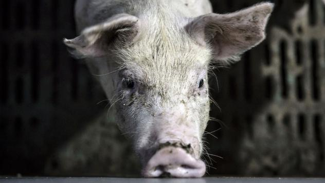 A pig stands in a pen at an antibiotic-free pig farm in Tongxiang, China.