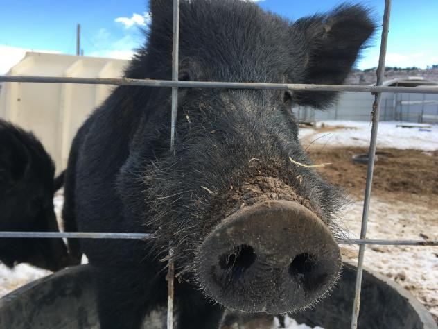 Researchers set up cameras in the wild in Texas to confirm that their test for pig DNA corresponded to visits by actual wild pigs.