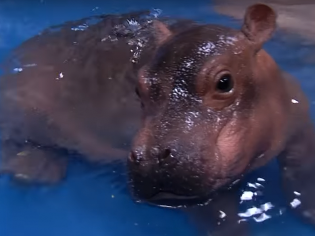In this photo provided by the Cincinnati Zoo, the prematurely born hippo named Fiona rests on a towel, on Monday. The zoo says the hippo recovered from dehydration this week with the help of staff from Cincinnati Children's Hospital Medical Center.