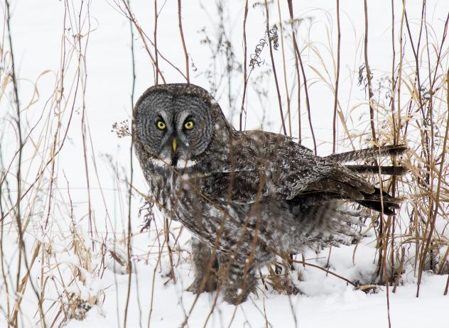 """A group of photographers gathered to search and wait for a sighting of the great gray owl north of Two Harbors, Minn. The owl, often called the """"Phantom of the North,"""" flew to within 20 yards and rested on a highway sign."""