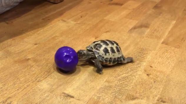 The zeal with which Bubba pursues a purple ball has won the tortoise fans. Paul Milham's video of the reptile has been seen tens of millions of times.
