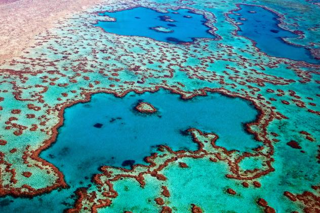 A bleached coral like this one – hundreds of years old – is becoming a more common sight along the Great Barrier Reef, where scientists say an average of a third of all coral died last year alone.