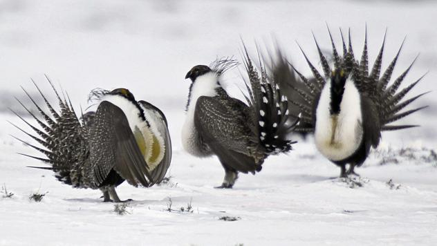 Photographed in Walden, Colo., in 2013, greater sage grouse perform mating rituals. The Trump administration is revising a conservation plan for the imperiled species.