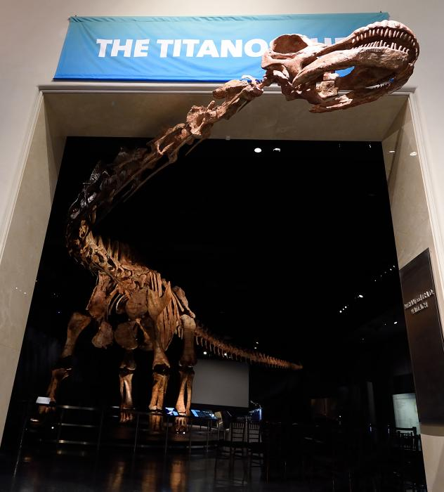 The titanosaur, seen here nearly spanning the width of a hangar, is considered the largest known dinosaur in the world.