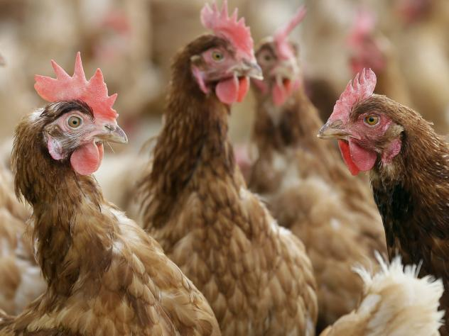 Cage-free chickens stand in a fenced pasture near Waukon, Iowa.