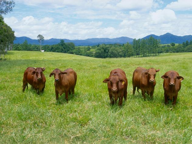 Brahman cattle graze in a field in Innisfail, Queensland, Australia. Researchers can estimate the greenhouse gas emissions and land used to produce various foods in different parts of the world. They've used that data to calculate the environmental impac