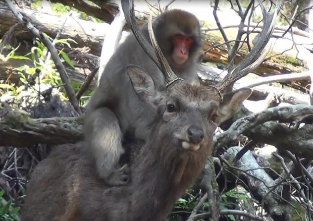 An adolescent female Japanese macaque on the back of a male sika deer. Researchers have looked into some macaques' attraction to the deer.