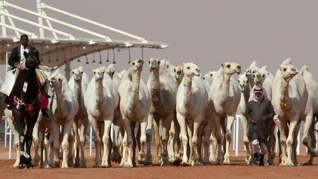The standards of camel beauty can include delicate ears and long lips.