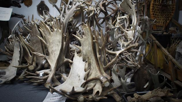 Boxes of deer, caribou, and moose antlers are sold at the Alaska Fur Exchange in Anchorage, some as pet chews, others as souvenirs or material for crafts.