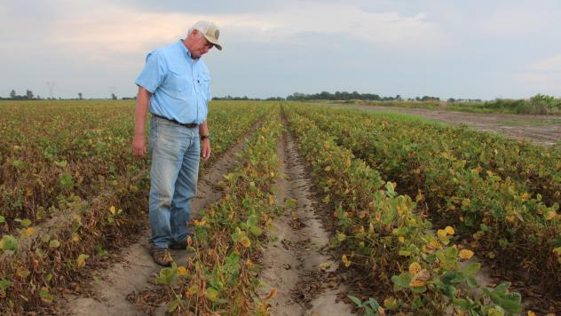 Arkansas farmer David Wildy inspects a field of soybeans that were damaged by dicamba. The pesticide ban is tied up in courts, leaving farmers uncertain about what to plant.
