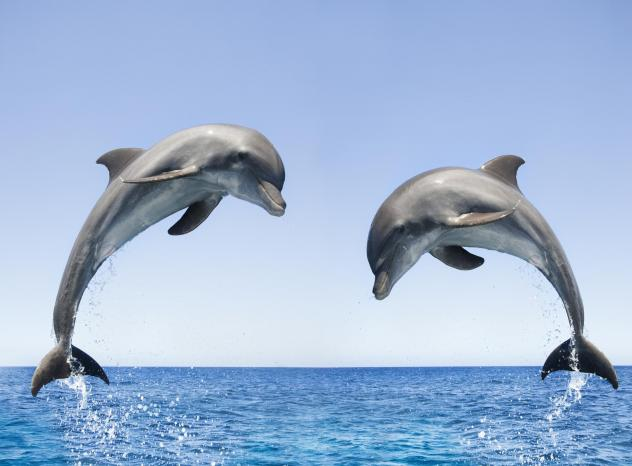 Bottlenose dolphins typically swim in warmer waters, such as this pair jumping in Honduras.
