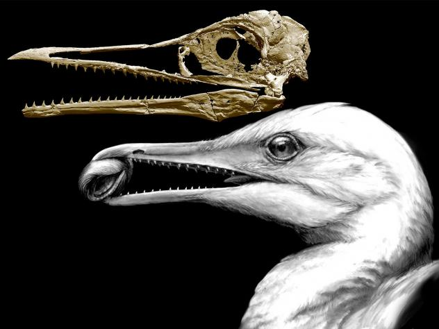 A CT-scan image of the skull of an ancient bird shows how one of the earliest bird beaks worked as a pincer, in the way beaks of modern birds do, but also had teeth left over from dinosaur ancestors. The animal, called <em>I</em><em>chthyornis</em>, live