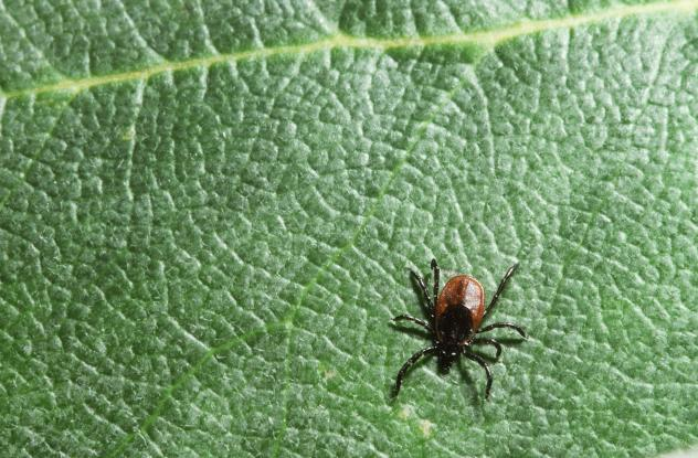 Black-legged ticks are small — the nymphs can be as little as the head of a pin, making them tough to spot.