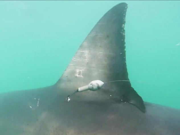 """The scientists found that the """"White Shark Cafe,"""" originally thought to be an ocean desert, actually is home to a diverse food chain."""
