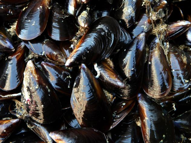 A recent study shows mussels in Puget Sound have tested positive for trace amounts of the opioid oxycodone.