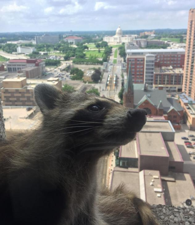 The #mprraccoon peers inside a law firm on the 23rd floor of the UBS Bank building on Tuesday. The animal has reportedly been captured.