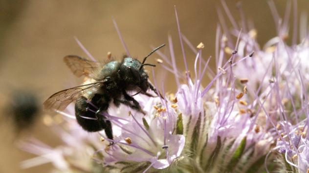 A female blue orchard bee forages for nectar and pollen on <em>Phacelia tanacetifolia</em> flowers, also known as blue or purple tansy. Blue orchard bees are solitary bees that help pollinate California's almond orchards.